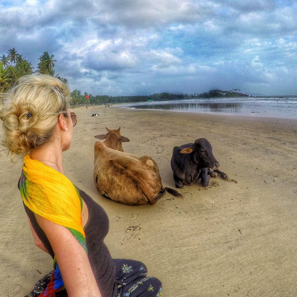 Cows relaxing on Palolem Beach in South Goa during low season (monsoon season)