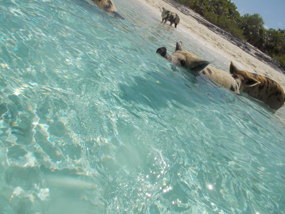 5 Facts About the Swimming Pigs of the Bahamas