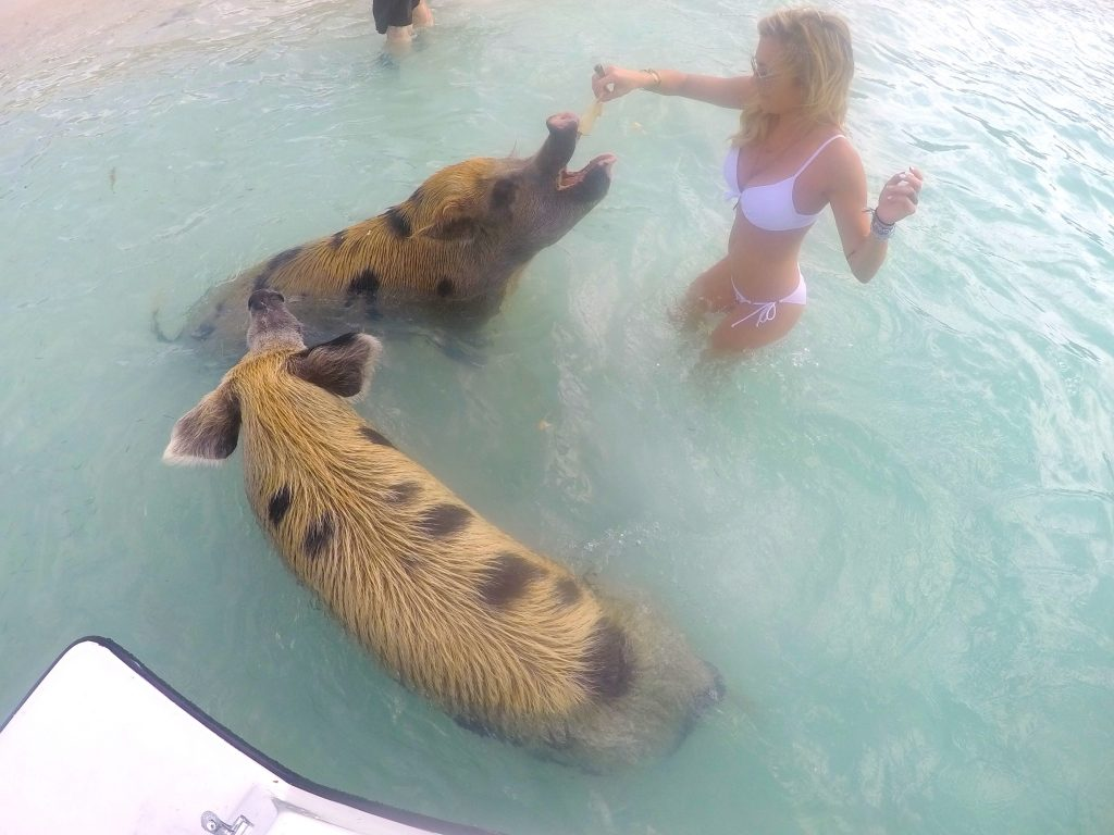 4190205754d Swimming Pigs of the Bahamas: How to See Them