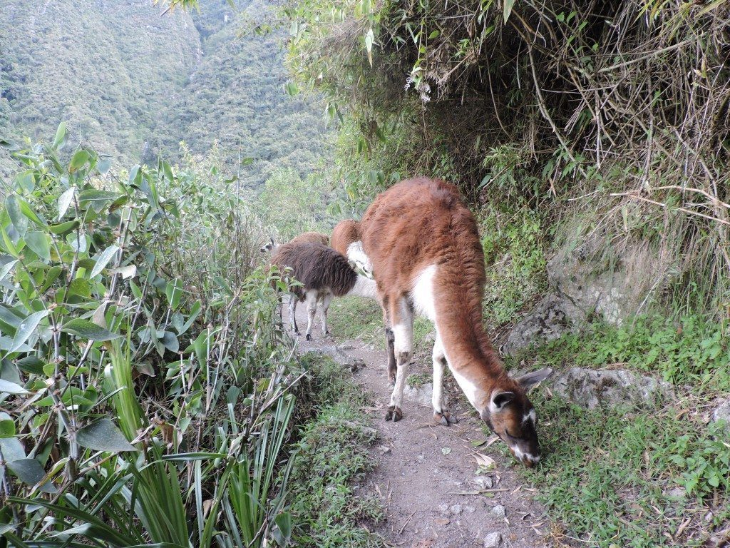 Yup. There really are llamas on the Inca Trail!
