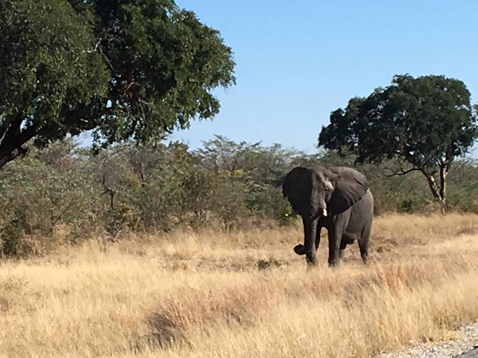 six countries so far, and I will easily admit that seeing wild animals in their natural habitats has not been common, until I came to Botswana. I've seen elephants in Thailand, Sri Lanka, India, South Africa, and recently Namibia, but always either on a reserve or being used by locals for work.